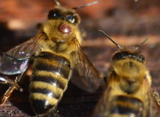 Községi méhzárlatot rendeltek el Toronyban és további öt településen